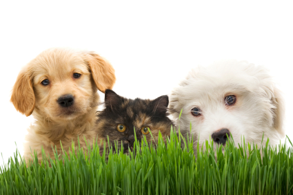 Two dogs and a cat with grass and a white background