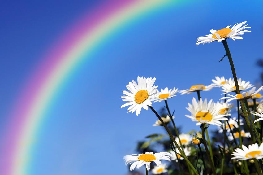 Daisies under a rainbow