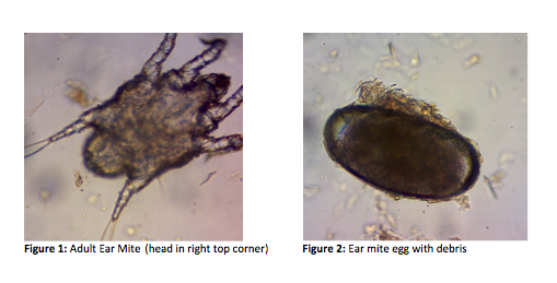 Adult Ear Mite and Ear mite egg with debris