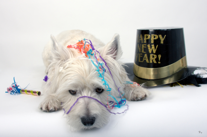 West Highland Terrier lying down amid confetti and a black and gold Happy New Year hat