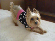 Carly the Yorkshire Terrier dog