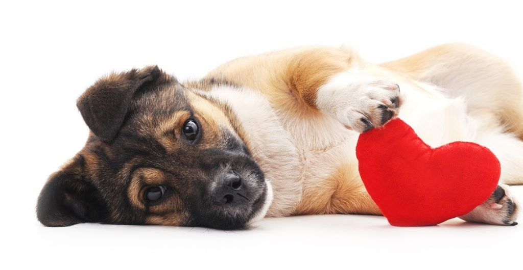 heart-conditions-in-pets